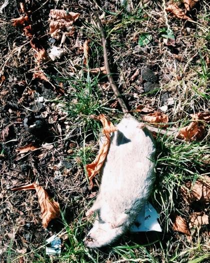 Död råtta som ligger på rygg