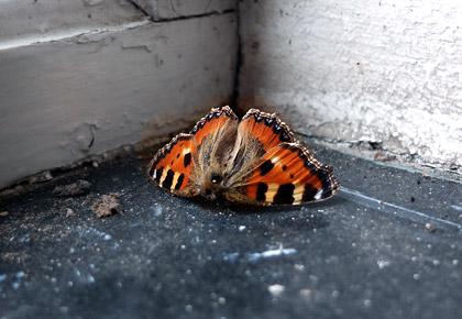 En död oragne fjäril på ett fönsterbleck