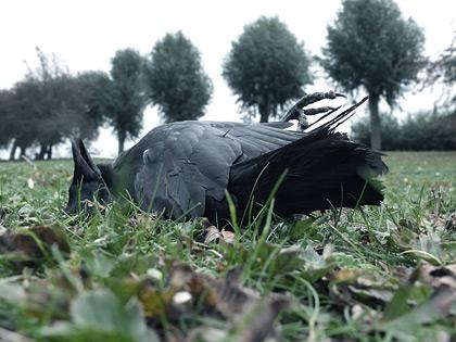 Död kråka i gräset i pildammsparken