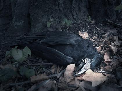 En död korp liggande i löven i pildammsparken