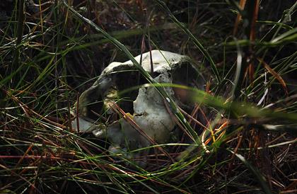 Kranium efter ett djur liggandes mitt i naturen
