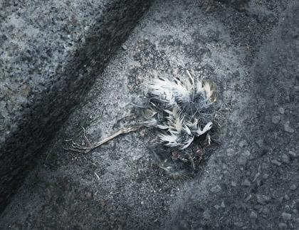 En död fågelunge vid en trotoar